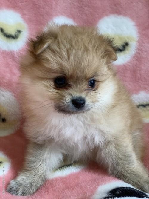 ポメラニアンの子犬(ID:1241211057)の2枚目の写真/更新日:2020-09-22