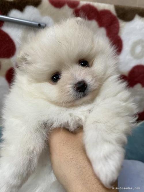 ポメラニアンの子犬(ID:1241211058)の2枚目の写真/更新日:2017-12-04
