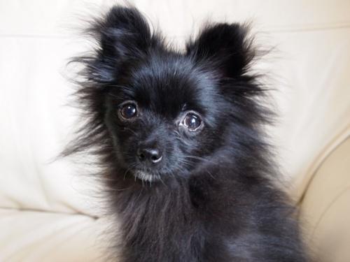 ポメラニアンの子犬(ID:1241211059)の1枚目の写真/更新日:2018-01-17
