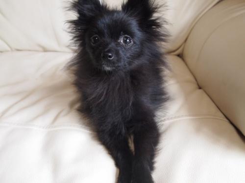 ポメラニアンの子犬(ID:1241211059)の2枚目の写真/更新日:2018-01-17