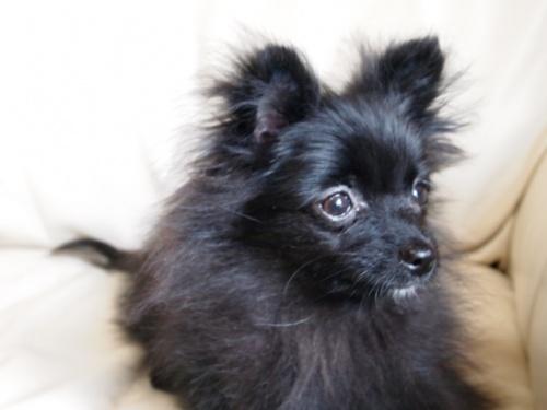 ポメラニアンの子犬(ID:1241211059)の3枚目の写真/更新日:2018-01-17
