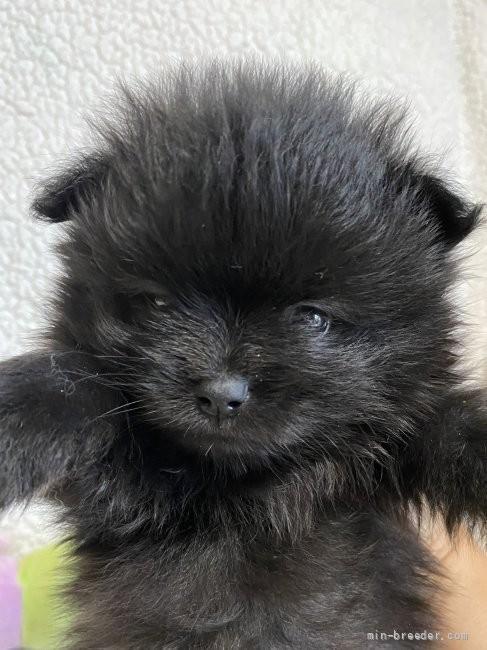 ポメラニアンの子犬(ID:1241211060)の1枚目の写真/更新日:2018-01-17