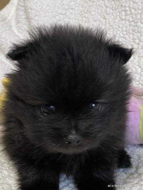 ポメラニアンの子犬(ID:1241211060)の4枚目の写真/更新日:2018-01-17