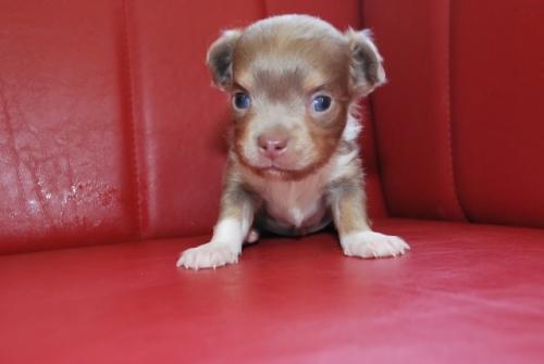チワワ(ロング)の子犬(ID:1241311008)の1枚目の写真/更新日:2019-08-26