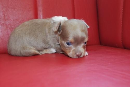 チワワ(ロング)の子犬(ID:1241311008)の2枚目の写真/更新日:2019-08-26