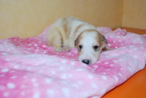 ボルゾイの子犬(ID:1241311022)の1枚目の写真/更新日:2018-07-15