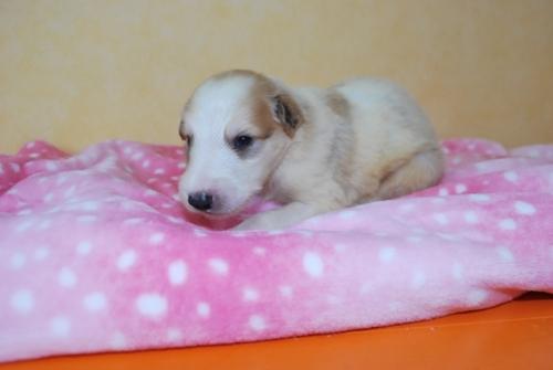 ボルゾイの子犬(ID:1241311022)の3枚目の写真/更新日:2018-07-15