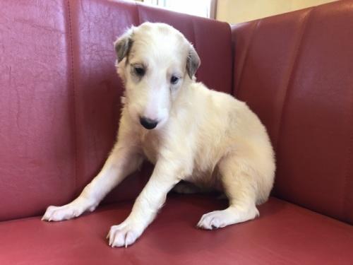 ボルゾイの子犬(ID:1241311023)の1枚目の写真/更新日:2018-07-15