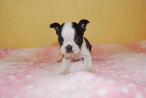 ボストンテリアの子犬(ID:1241311029)の1枚目の写真/更新日:2018-11-26