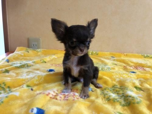 チワワ(ロング)の子犬(ID:1241311038)の1枚目の写真/更新日:2021-02-05