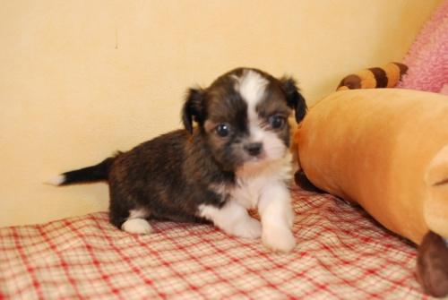 ミックスの子犬(ID:1241311056)の3枚目の写真/更新日:2019-09-15