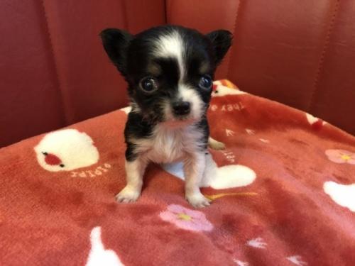 チワワ(ロング)の子犬(ID:1241311068)の1枚目の写真/更新日:2021-02-05