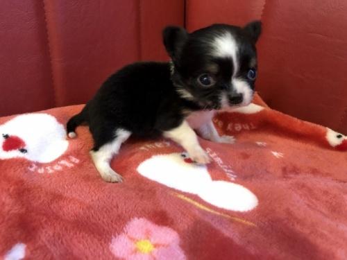 チワワ(ロング)の子犬(ID:1241311068)の2枚目の写真/更新日:2021-02-05