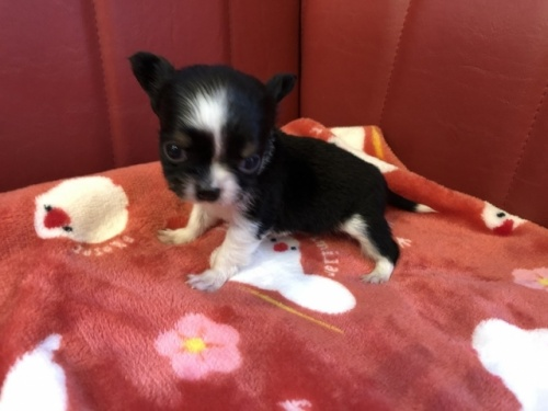 チワワ(ロング)の子犬(ID:1241311068)の3枚目の写真/更新日:2021-02-05