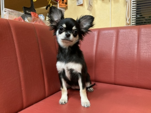 チワワ(ロング)の子犬(ID:1241311069)の1枚目の写真/更新日:2019-05-09