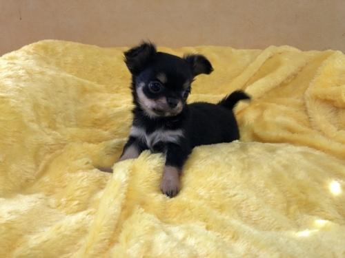 チワワ(ロング)の子犬(ID:1241311070)の2枚目の写真/更新日:2019-05-09