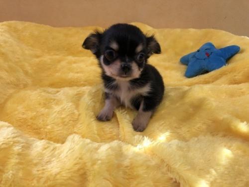 チワワ(ロング)の子犬(ID:1241311071)の1枚目の写真/更新日:2019-10-08
