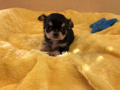 チワワ(ロング)の子犬(ID:1241311071)の2枚目の写真/更新日:2019-10-08