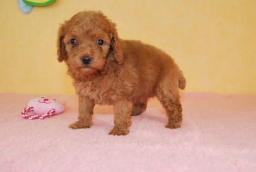 トイプードルの子犬(ID:1241311082)の1枚目の写真/更新日:2018-10-01