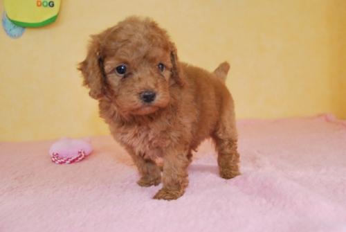 トイプードルの子犬(ID:1241311082)の2枚目の写真/更新日:2018-10-01
