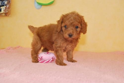 トイプードルの子犬(ID:1241311082)の3枚目の写真/更新日:2018-10-01