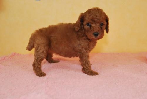 トイプードルの子犬(ID:1241311083)の3枚目の写真/更新日:2018-10-01