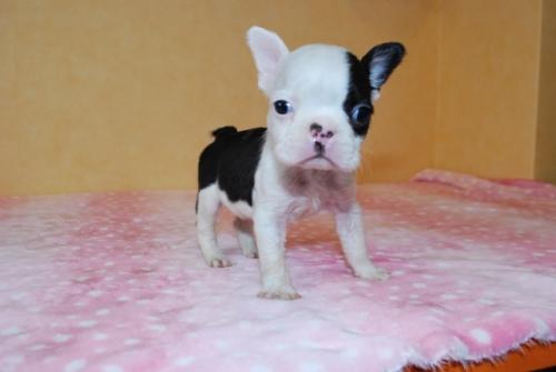 ボストンテリアの子犬(ID:1241311089)の1枚目の写真/更新日:2018-12-06