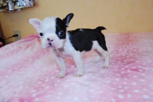 ボストンテリアの子犬(ID:1241311089)の3枚目の写真/更新日:2018-12-06