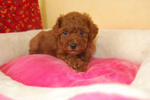トイプードルの子犬(ID:1241311092)の1枚目の写真/更新日:2018-10-12