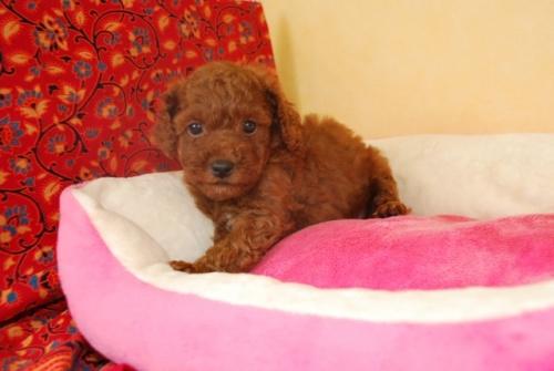 トイプードルの子犬(ID:1241311092)の3枚目の写真/更新日:2018-10-12