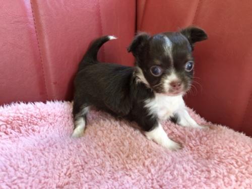 チワワ(ロング)の子犬(ID:1241311095)の1枚目の写真/更新日:2019-10-08