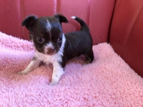 チワワ(ロング)の子犬(ID:1241311095)の2枚目の写真/更新日:2019-10-08