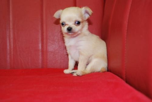 チワワ(ロング)の子犬(ID:1241311096)の1枚目の写真/更新日:2019-12-15