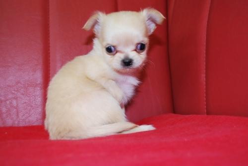チワワ(ロング)の子犬(ID:1241311096)の2枚目の写真/更新日:2019-12-15