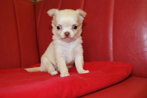 チワワ(ロング)の子犬(ID:1241311097)の1枚目の写真/更新日:2019-12-15