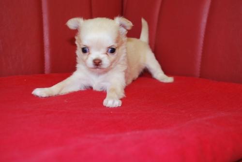 チワワ(ロング)の子犬(ID:1241311097)の2枚目の写真/更新日:2019-12-15