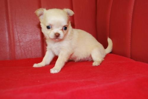 チワワ(ロング)の子犬(ID:1241311097)の3枚目の写真/更新日:2019-12-15