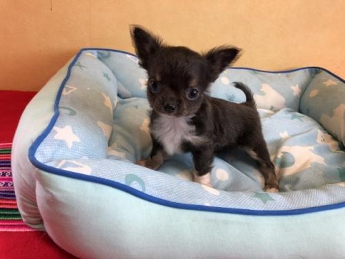チワワ(ロング)の子犬(ID:1241311100)の1枚目の写真/更新日:2020-07-06
