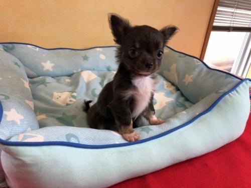 チワワ(ロング)の子犬(ID:1241311100)の2枚目の写真/更新日:2020-07-06
