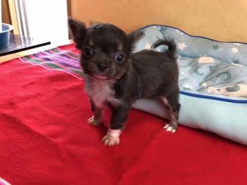 チワワ(ロング)の子犬(ID:1241311100)の3枚目の写真/更新日:2020-07-06