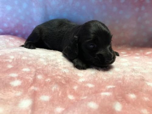 ミニチュアダックスフンド(ロング)の子犬(ID:1241311106)の2枚目の写真/更新日:2018-07-15