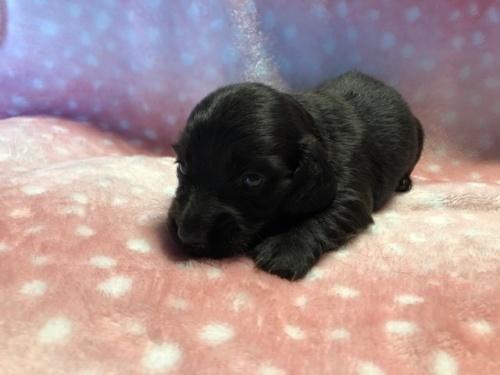 ミニチュアダックスフンド(ロング)の子犬(ID:1241311106)の3枚目の写真/更新日:2018-07-15