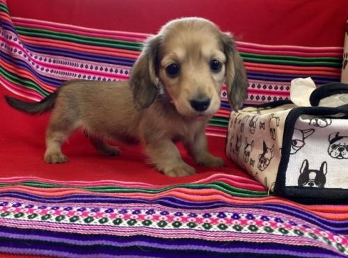 ミニチュアダックスフンド(ロング)の子犬(ID:1241311108)の1枚目の写真/更新日:2018-07-15