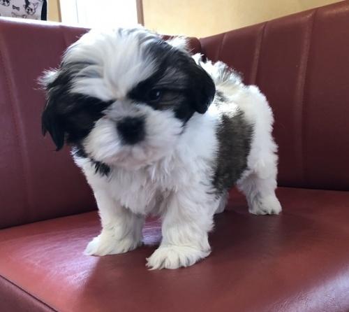 シーズーの子犬(ID:1241311110)の2枚目の写真/更新日:2021-02-22