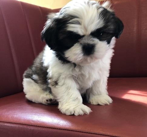 シーズーの子犬(ID:1241311110)の3枚目の写真/更新日:2021-02-22