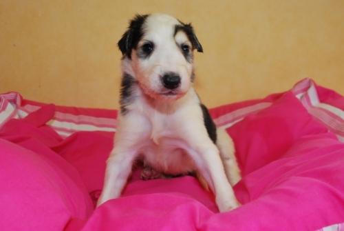 ボルゾイの子犬(ID:1241311121)の1枚目の写真/更新日:2019-04-29