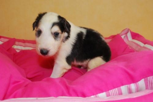 ボルゾイの子犬(ID:1241311121)の2枚目の写真/更新日:2019-04-29