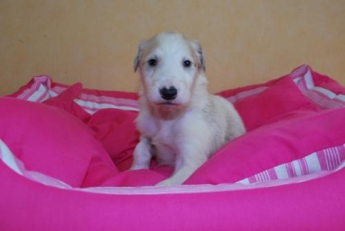 ボルゾイの子犬(ID:1241311122)の1枚目の写真/更新日:2019-04-29