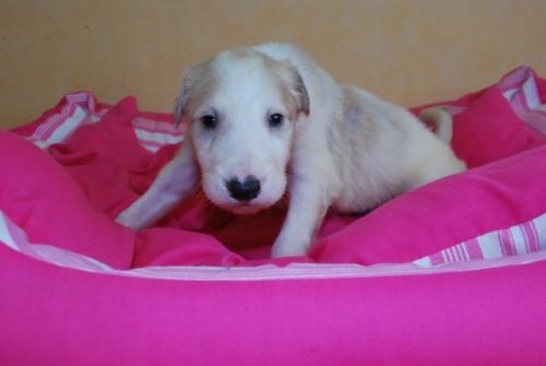 ボルゾイの子犬(ID:1241311122)の2枚目の写真/更新日:2019-04-29