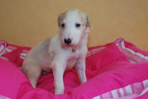 ボルゾイの子犬(ID:1241311122)の3枚目の写真/更新日:2019-04-29